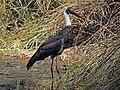 Wooly-necked Stork RWD2.jpg