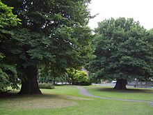 World Champion English elm.JPG