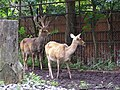 Wroclaw zoo 09 barasinga.jpg