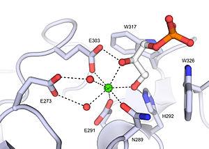 Intelectin - Image: XEEL ligand binding site