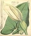 Xanthosoma sagittifolium 2.jpg