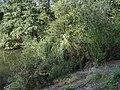 Xaverovský rybník I, vrby.jpg
