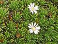 Xenophyllum humile 2.jpg