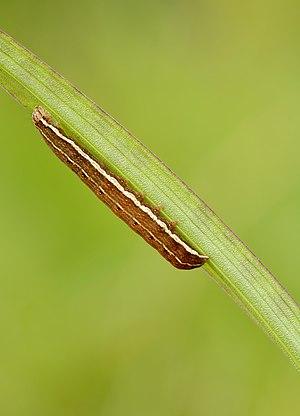Xylena (Lithomoia) solidaginis caterpillar