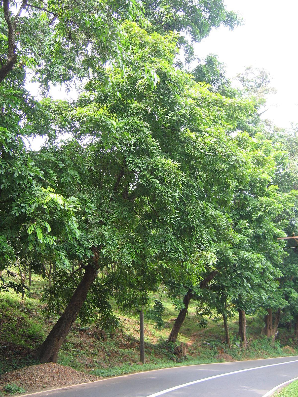 Trees Of Santa Cruz County Melaleuca Quinquenervia: Xylia Xylocarpa