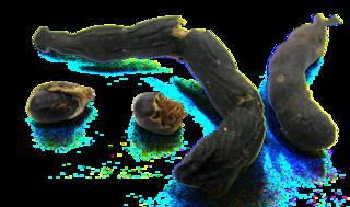 <i>Xylopia africana</i> species of plant