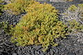Yaiza La Hoya - LZ-703 - Laguna de Janubio - Zygophyllum fontanesii 03 ies.jpg