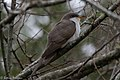 Yellow-billed Cuckoo Fall Out Sabine Woods TX 2018-04-08 11-53-48 (41443405342).jpg