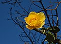 Yellow rose (8178934603).jpg