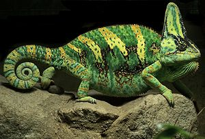 Patterns in nature - Patterns of the veiled chameleon, Chamaeleo calyptratus, evolved for camouflage and to signal mood and breeding condition.