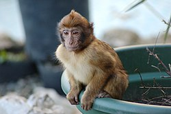 Young Barbary Ape sitting on Plant Pot.jpg