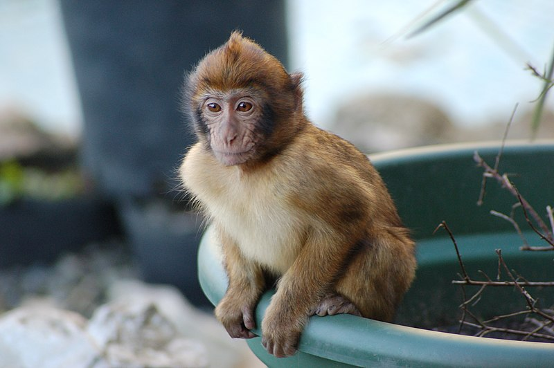 File:Young Barbary Ape sitting on Plant Pot.jpg