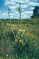 Yucca arkansana subsp. freemanii fh 1180.73 TX B.jpg
