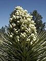 Yucca brevifolia (Scott Zona) 001.jpg