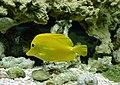 Zebrasoma flavescens 4.jpg
