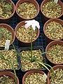 Zephyranthes atamasco Big Dude (14485370221).jpg