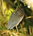 Zigzag Heron.jpg