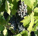 Zinfandel grapes ripening on a vine