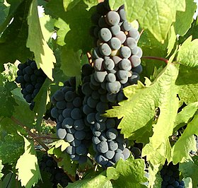 Zinfandel grapes.jpg