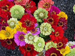 English: A bunch of zinnias of varying colors.