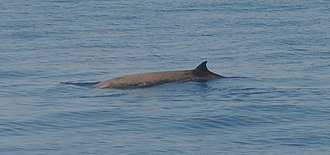 Cuvier's beaked whale - A Cuvier's beaked whale surfaces in Ligurian Sea