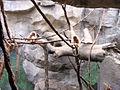 Zoo Koeln Regenwaldhaus hylobates lar.jpg