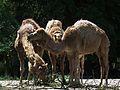 Zoo Landau Dromedare Juni 2011.JPG