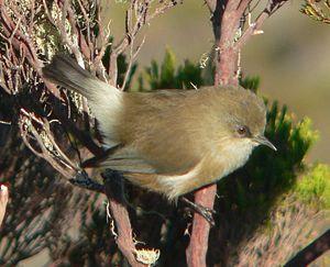 "White-eye - Mascarene white-eye Zosterops b. borbonicus (""Réunion grey white-eye"")"