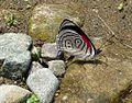 '89' Diaethria clymena. Tribe Biblidini. - Flickr - gailhampshire.jpg