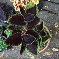 'Giant Exhibition Magma' coleus IMG 0880.jpg