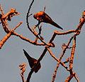 (1)Birds Kensington Park 062a.jpg