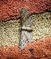 (1812) Maple Pug (Eupithecia inturbata) (35670684090).jpg