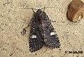(2155) Dot Moth (Melanchra persicariae) (3131010531).jpg