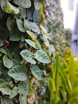 (Arya) Ficus pumila in front of hotel citradream Cirebon 2019 0.jpg