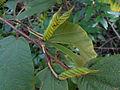 (Helicteres isora) East Indian screw tree seed at Kambalakonda 06.JPG