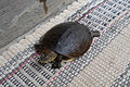 (Lissemys punctata) Indian flap shell Turtle 03.JPG