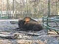 Żubr w Poznańskim Nowym Zoo.jpg