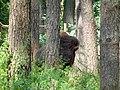 Бизон в засаде - panoramio.jpg