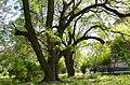 Вікові дерева софори японської, вул. Китаївська,32.jpg