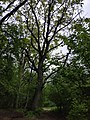 Древний дуб посреди дороги.jpg