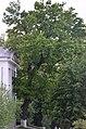 Дуб звичайний по вулиці Шевченка,61.jpg