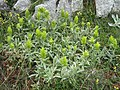 Орхидея и панаска детелина 06.jpg