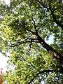 Самбір, дерево, по вул.Ів.Франка - panoramio.jpg