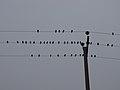 رفتار عجیب سارها بر روی تیرهای برق در اطراف شهر قم، ابتدای فصل زمستان - عکاس. مصطفی معراجی 08.jpg