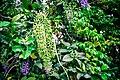 พวงคราม Petrea volubilis Photographed by Trisorn Triboon 04.jpg