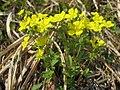 ミツバツチグリ Potentilla freyniana.JPG