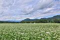 下郷町落合のそば畑 - panoramio (1).jpg