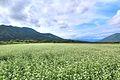 下郷町落合のそば畑 - panoramio (3).jpg