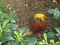 南京红山森林动物园雉鸡 - panoramio.jpg