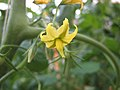 小果番茄-京丹小黃玉 Solanum lycopersicum Jing Dan Mini Huang Yu -香港漁農美食嘉年華 Hong Kong Farmfest- (9216083310).jpg